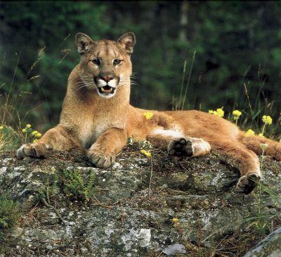 menopause cougar